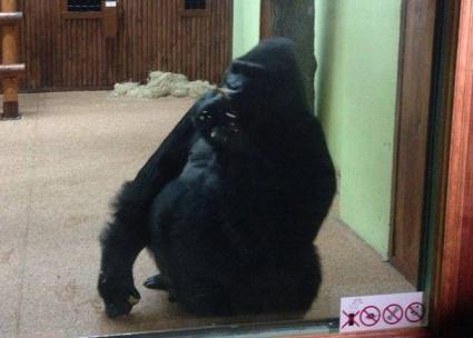 Годеницата на Владимир Кличко построи дом за горила в Киев (СНИМКИ)