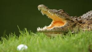 Трагедия! Крокодил уби голфър