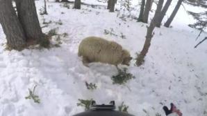 Руски сноубордист се разби… в овца (видео)