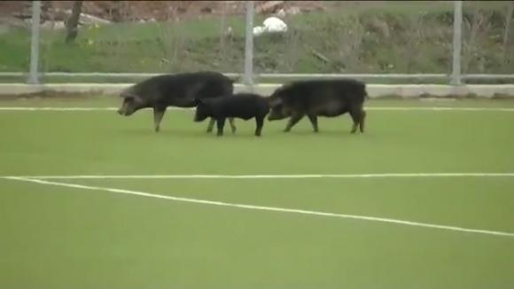 Смях в залата: Животни спряха мач в Сърбия