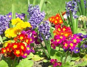 40 милиона саксии с цветя ще украсят Пекин