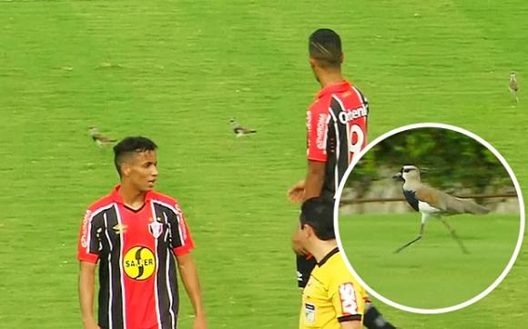 Пернати натрапници прекъснаха футболен мач в Бразилия (видео)