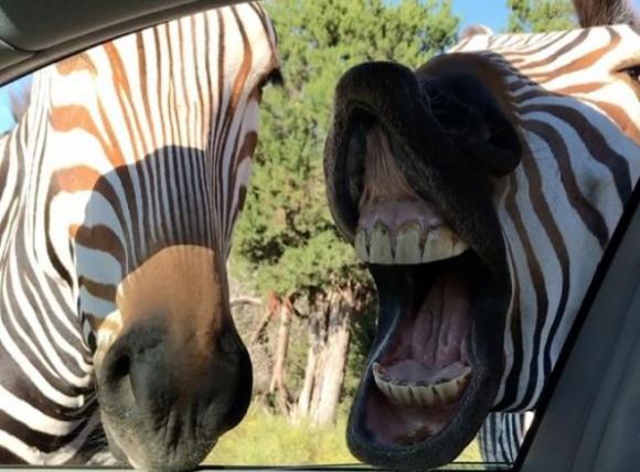 Среща със зебри