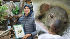 Доминик Тийм осинови бебе коала