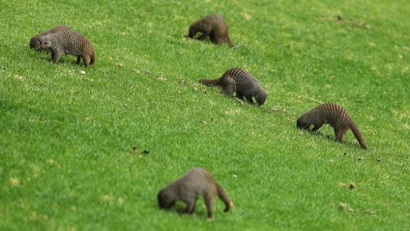 Мангусти нахлуха на голф игрище